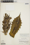 Agave chiapensis image