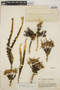 Agave hiemiflora image