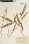 Dicranopteris linearis image