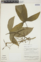 Syngonium podophyllum image