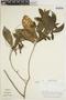 Acalypha apodanthes image