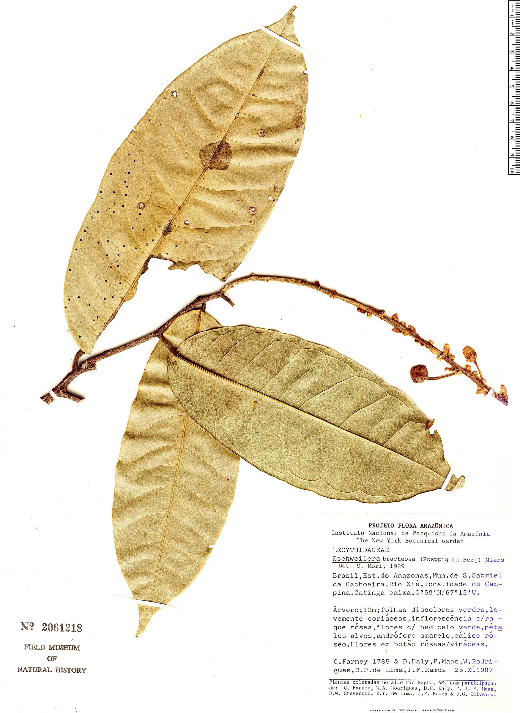 Specimen: Eschweilera bracteosa