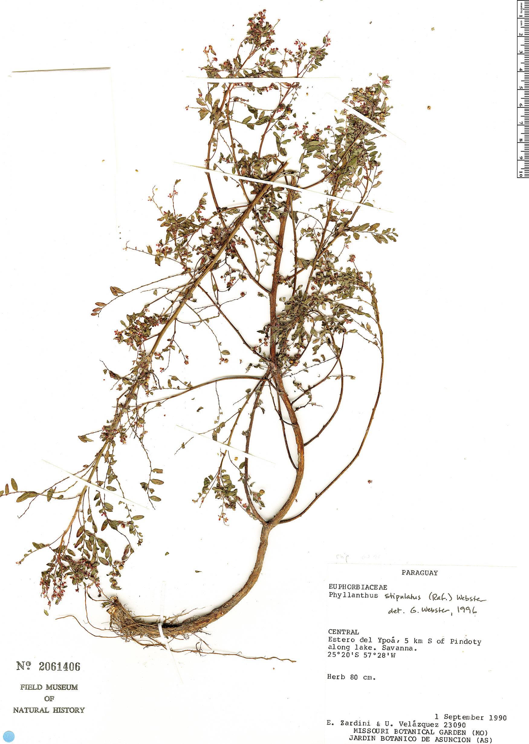 Specimen: Phyllanthus stipulatus