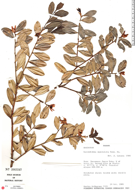 Specimen: Cavendishia capitulata