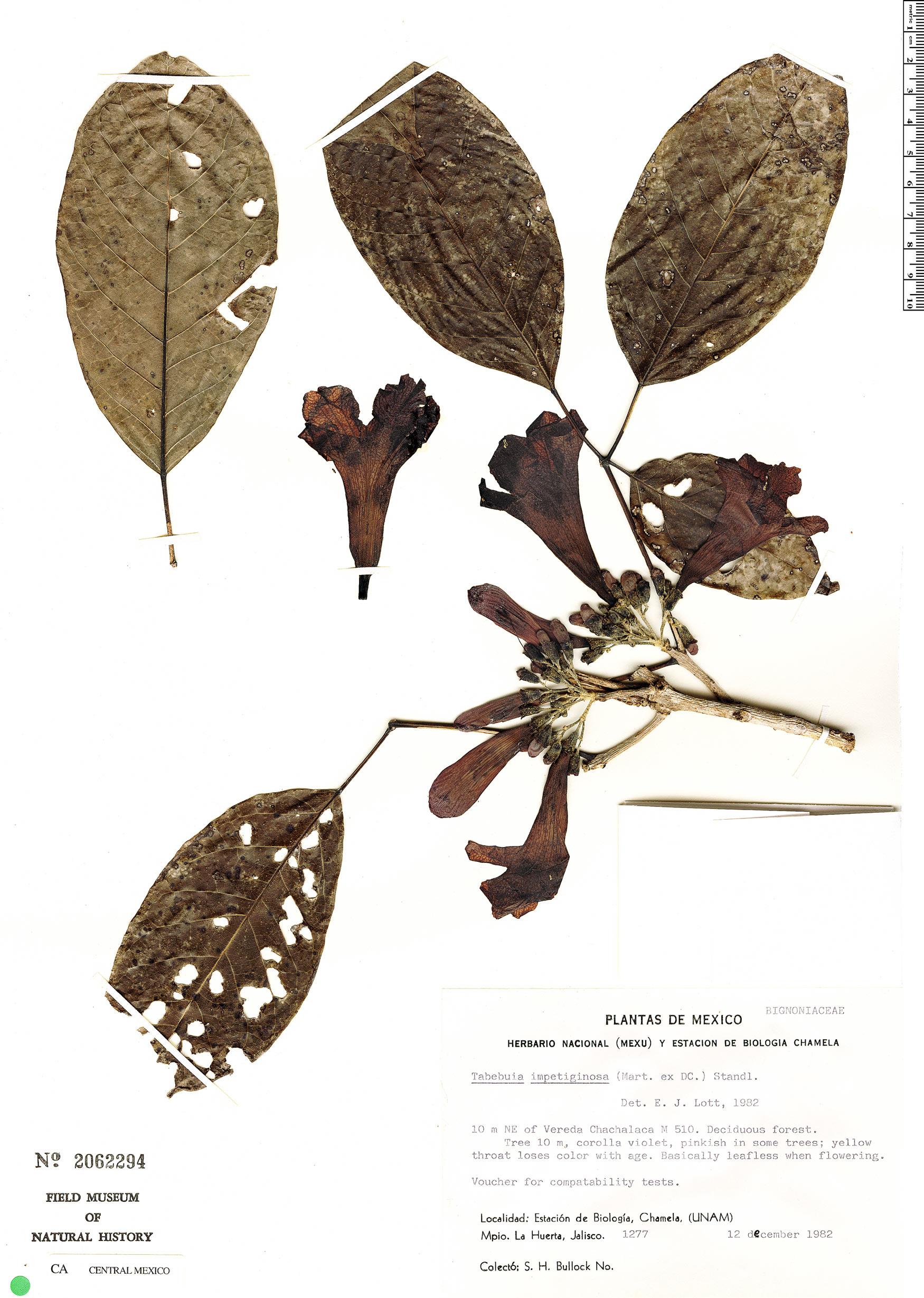 Specimen: Handroanthus impetiginosus