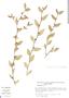 Sida ulmifolia Cav., Mexico, S. D. Koch 8758, F