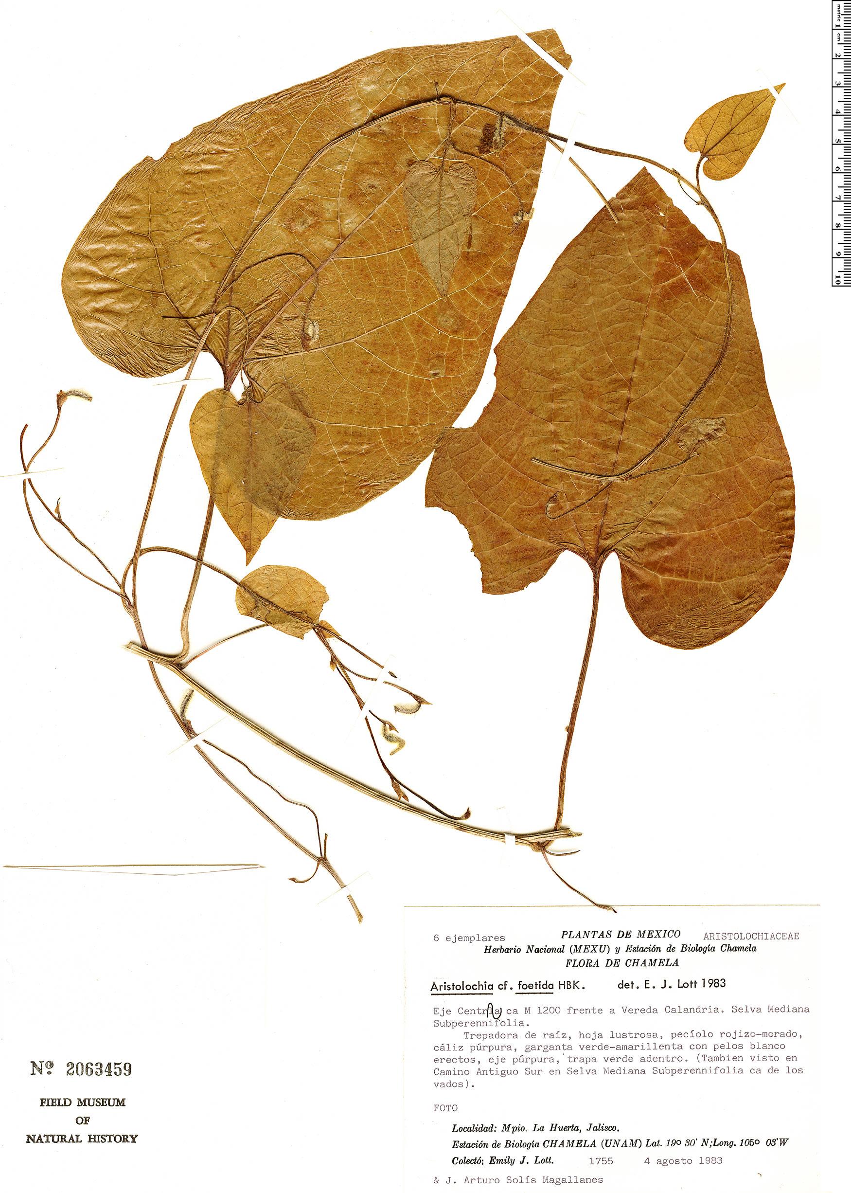 Specimen: Aristolochia foetida