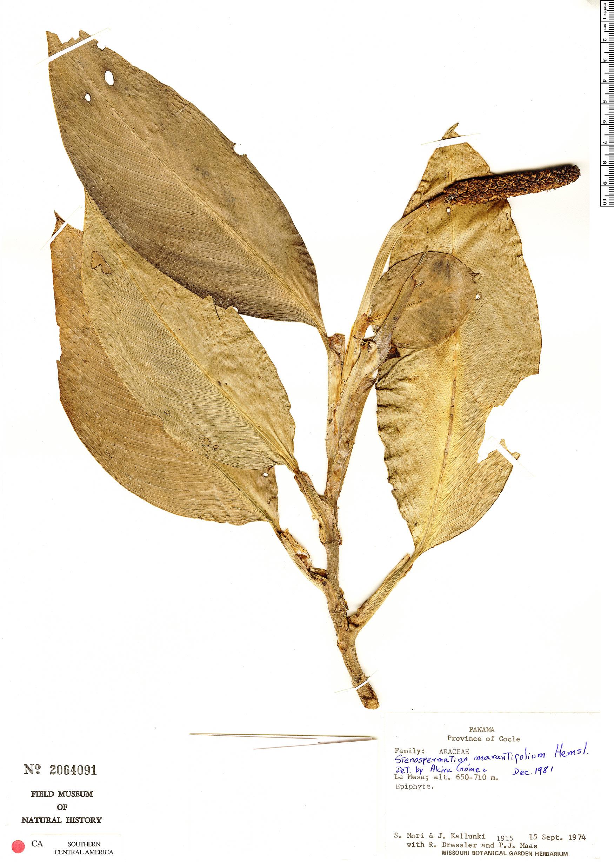 Specimen: Stenospermation marantifolium