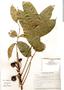 Tetragastris panamensis (Engl.) Kuntze, Panama, A. J. Reyes 141, F