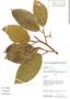 Ficus trigona L. f., Peru, A. H. Gentry 43450, F
