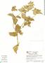 Croton hirtus L'Hér., Colombia, R. Fonnegra G. 3158, F