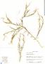 Polygala paniculata L., Panama, S. Thompson 4806, F