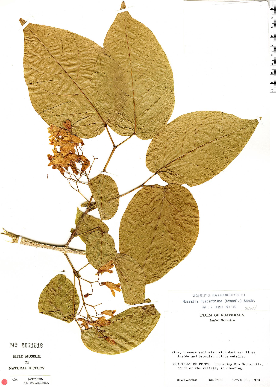 Specimen: Bignonia hyacinthina