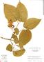 Mussatia hyacinthina (Standl.) Sandwith, Guatemala, E. Contreras 9699, F