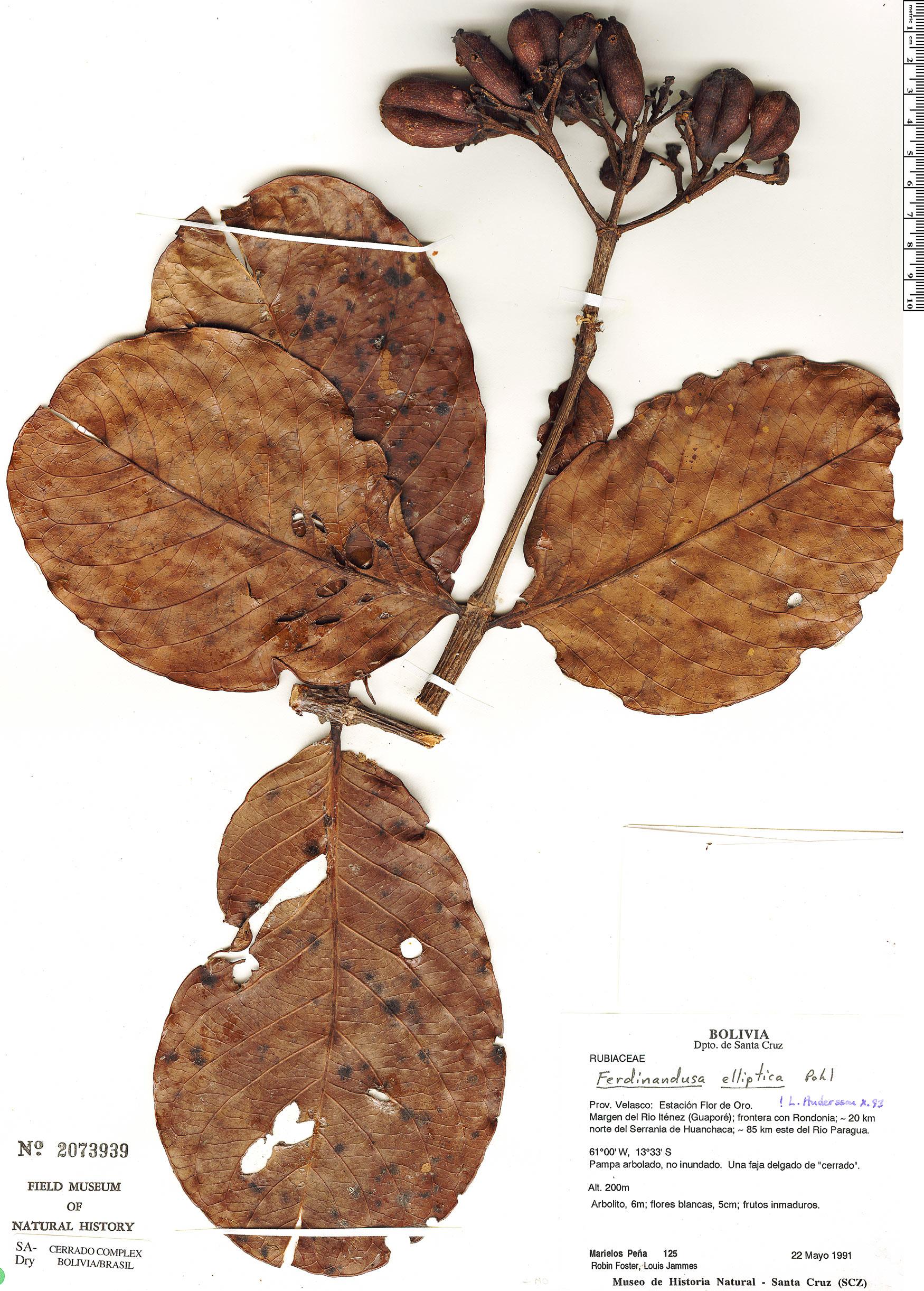 Specimen: Ferdinandusa elliptica
