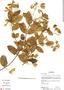 Banisteriopsis confusa B. Gates, Bolivia, M. Peña 133, F