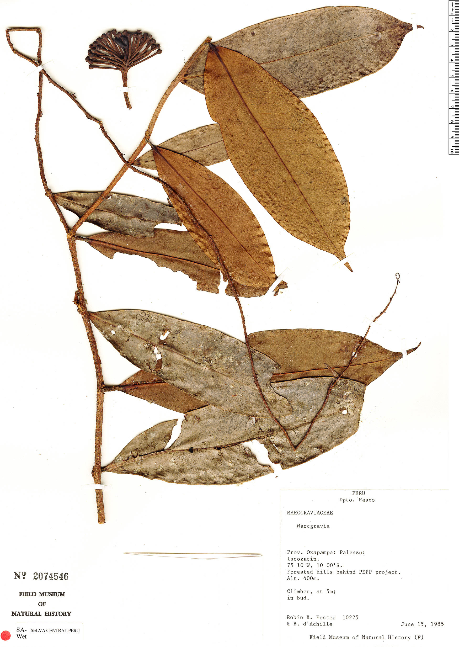 Specimen: Marcgravia macrophylla