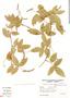 Paullinia elegans, Argentina, A. Schinini 26735, F