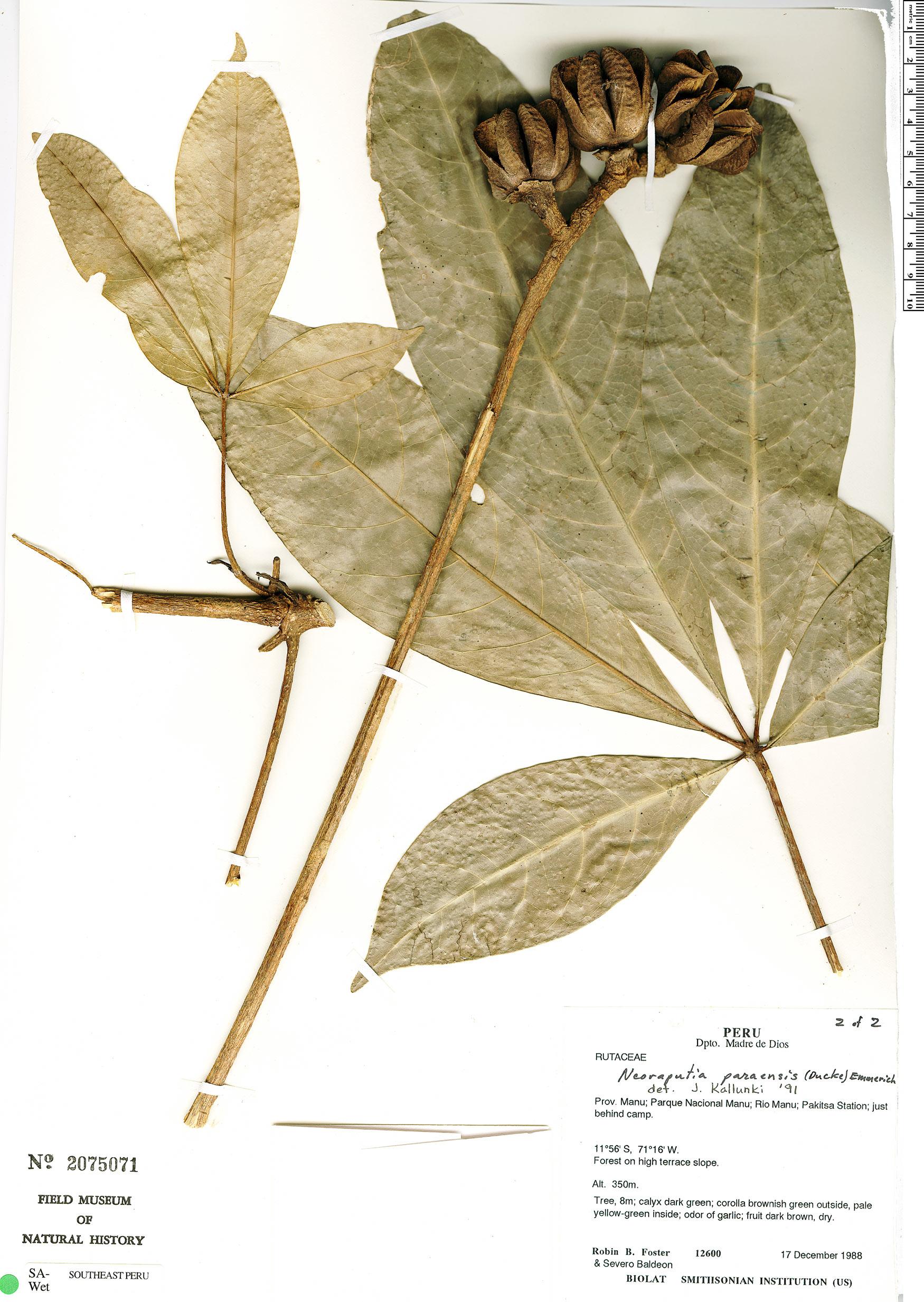Specimen: Neoraputia paraensis
