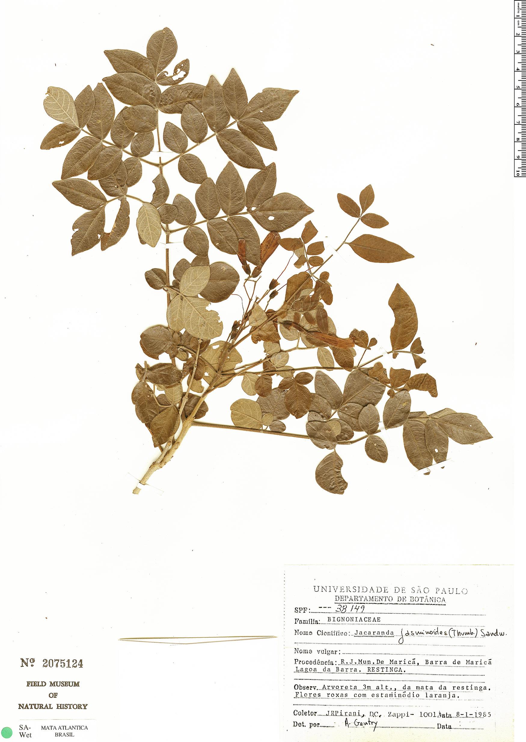 Espécime: Jacaranda jasminoides