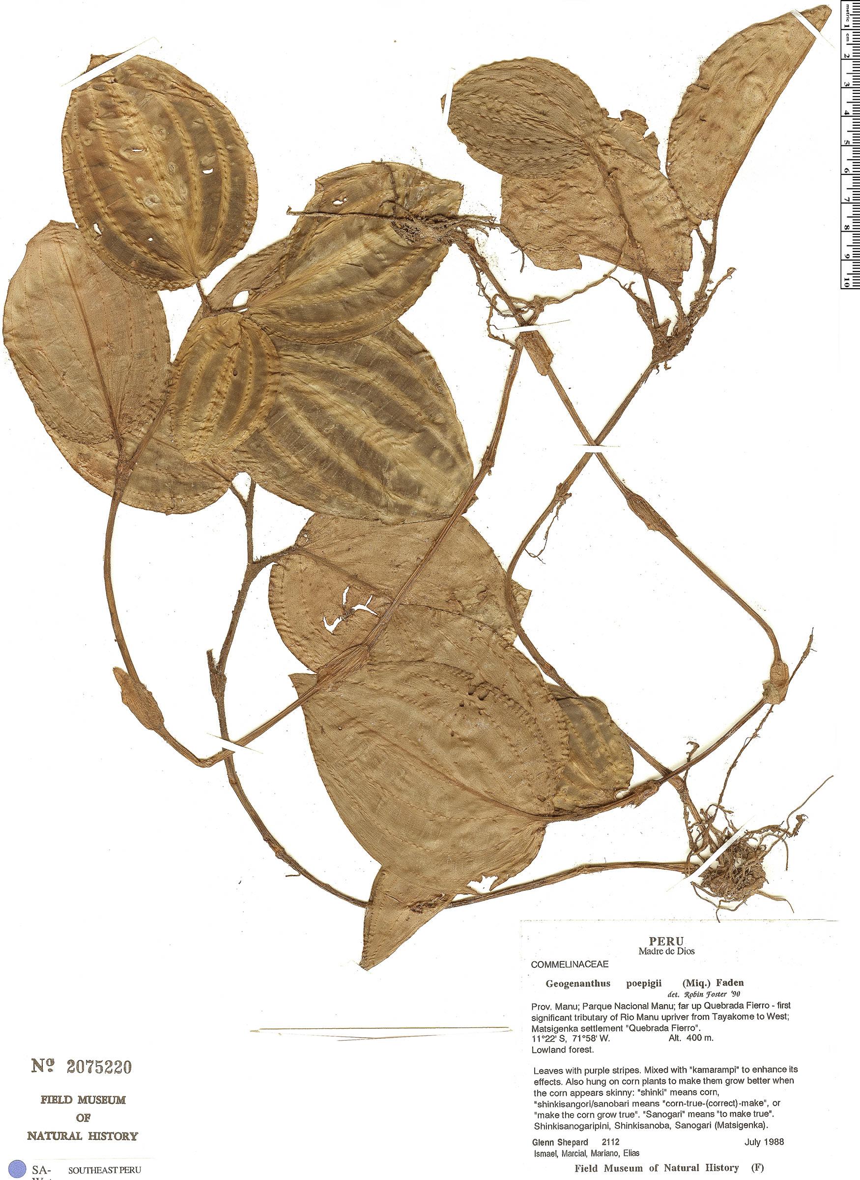 Specimen: Geogenanthus poeppigii