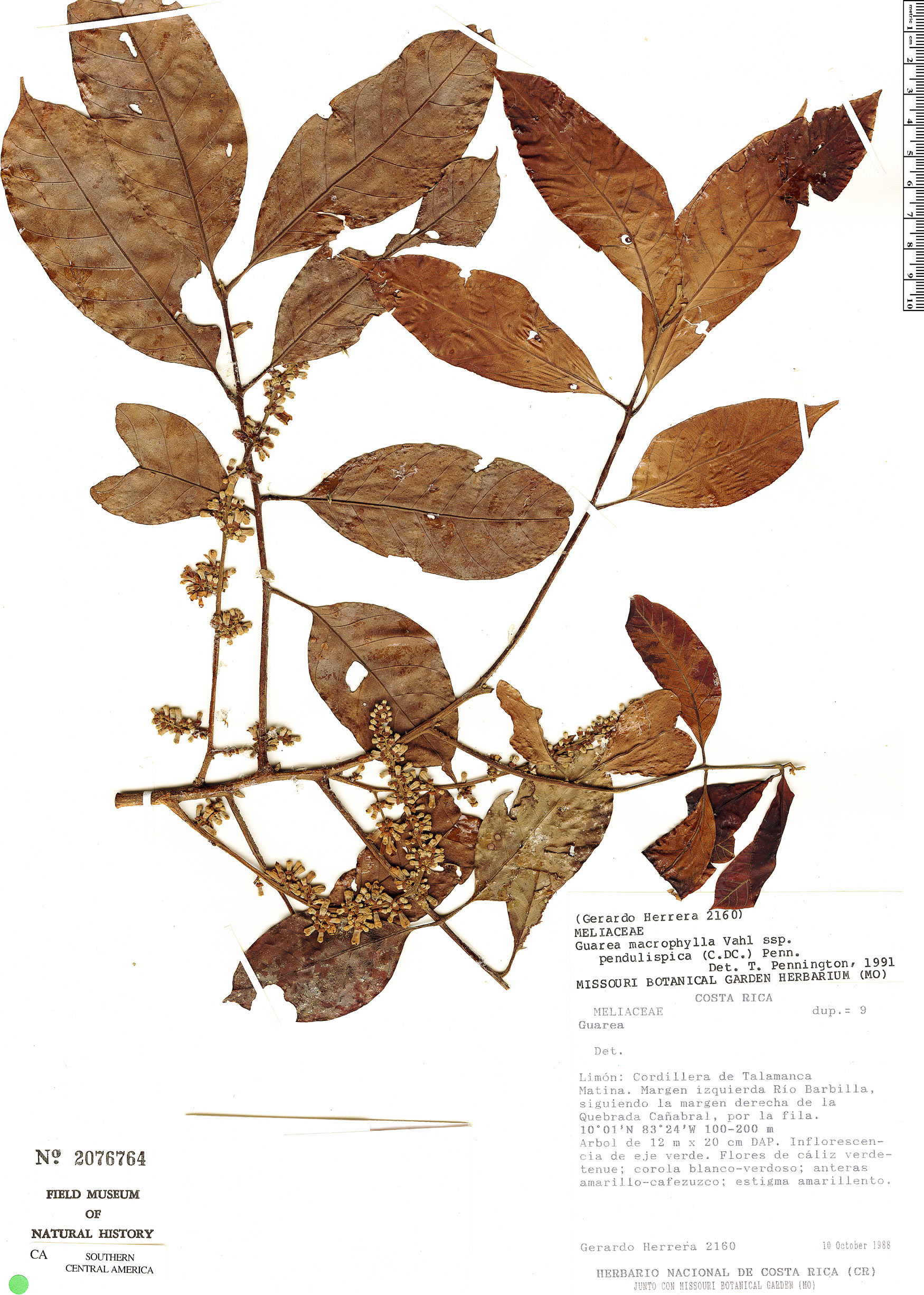 Specimen: Guarea guidonia