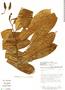 Annona pittieri Donn. Sm., Costa Rica, B. E. Hammel 16921, F