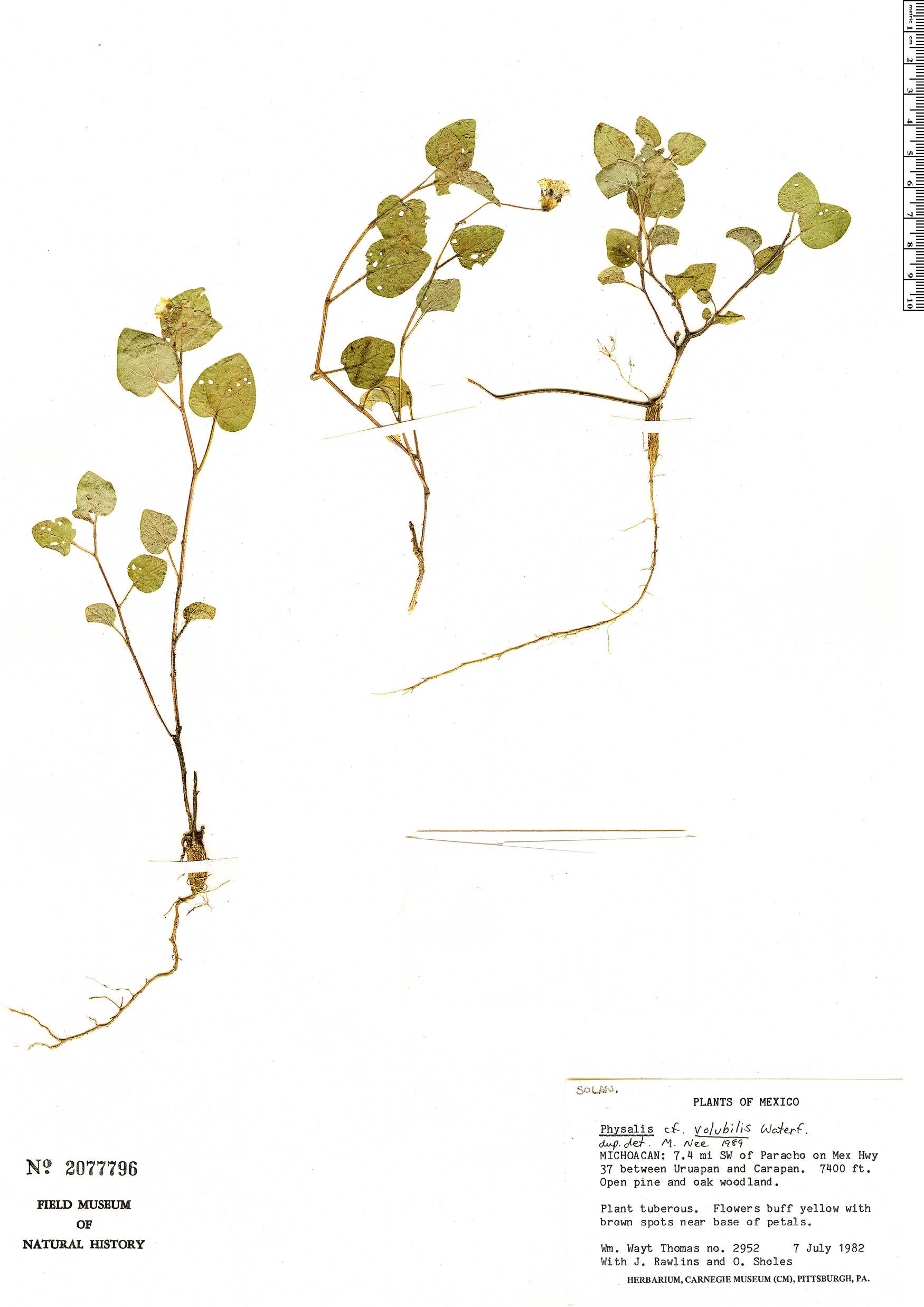 Specimen: Physalis volubilis