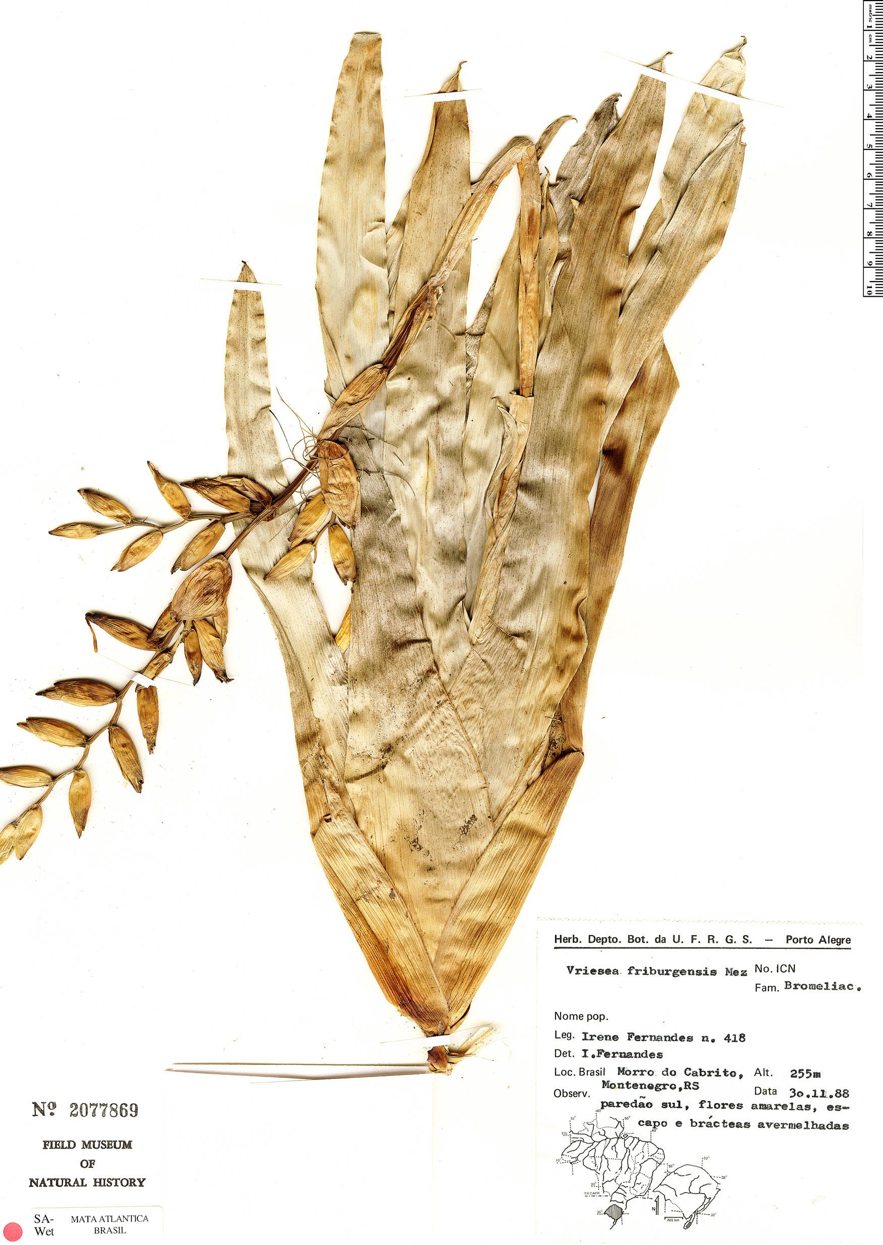 Espécime: Vriesea friburgensis