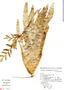 Vriesea friburgensis Mez, Brazil, I. Fernandes 418, F