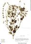Salvia lasiocephala Hook. & Arn., Mexico, P. Tenório L. 5222, F