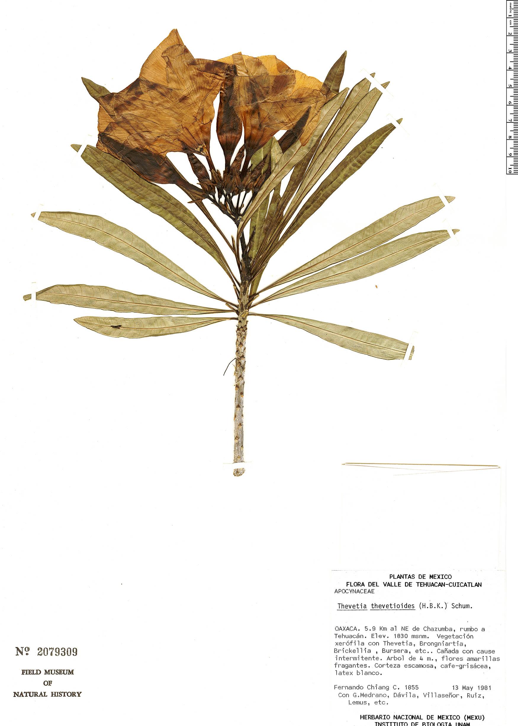 Specimen: Thevetia thevetioides