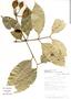 Garcinia madruno (Kunth) Hammel, Costa Rica, R. L. Robles 1917, F