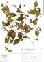 Pisoniella arborescens image