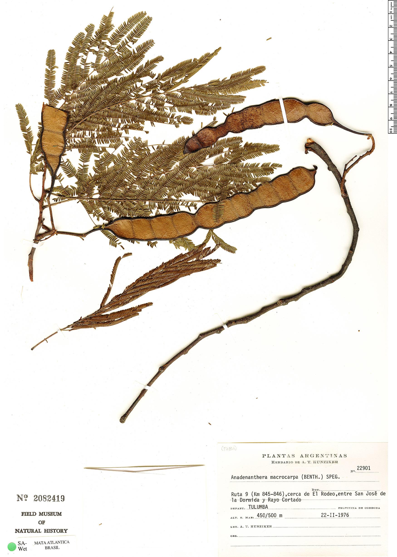 Specimen: Anadenanthera macrocarpa