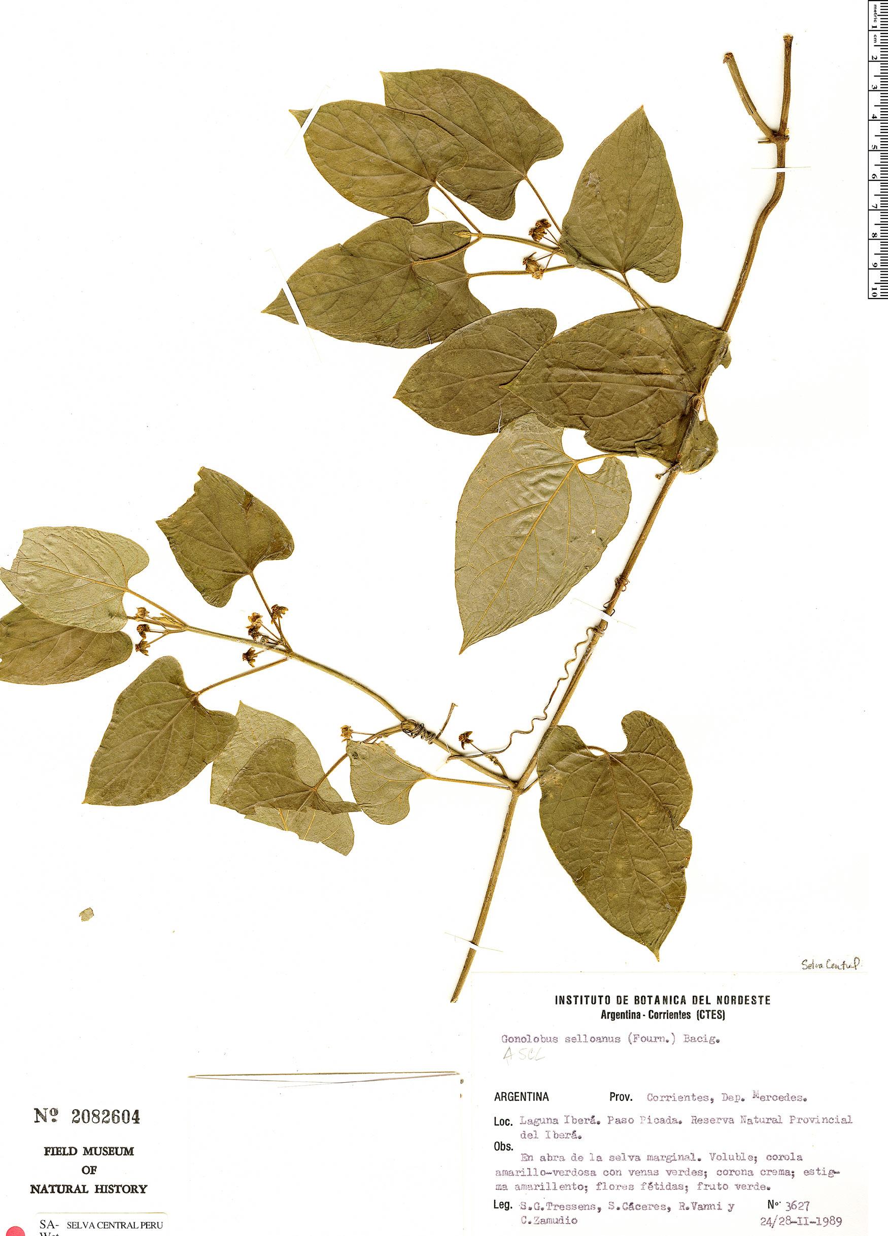 Specimen: Gonolobus selloanus