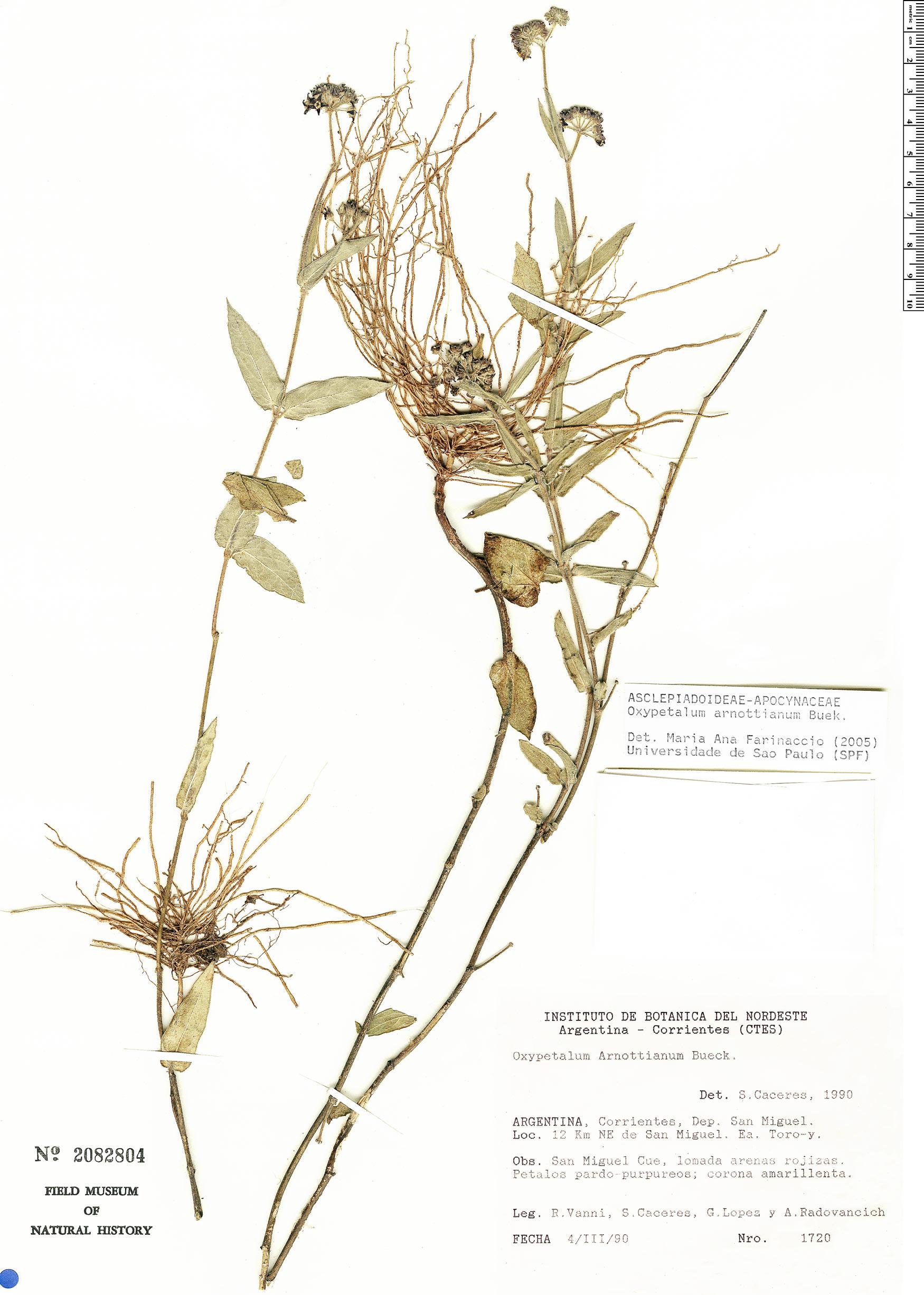 Specimen: Oxypetalum arnottianum