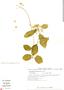Funastrum pannosum (Decne.) Schltr., Mexico, C. Martínez 24, F