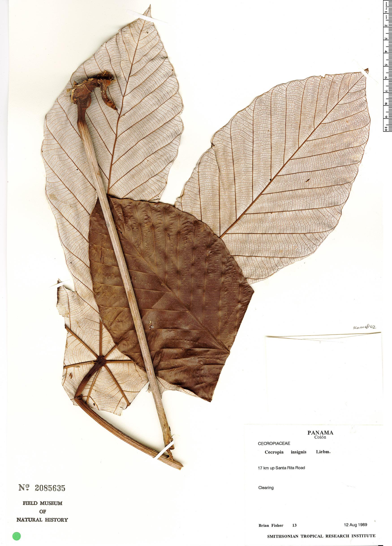 Cecropia insignis image