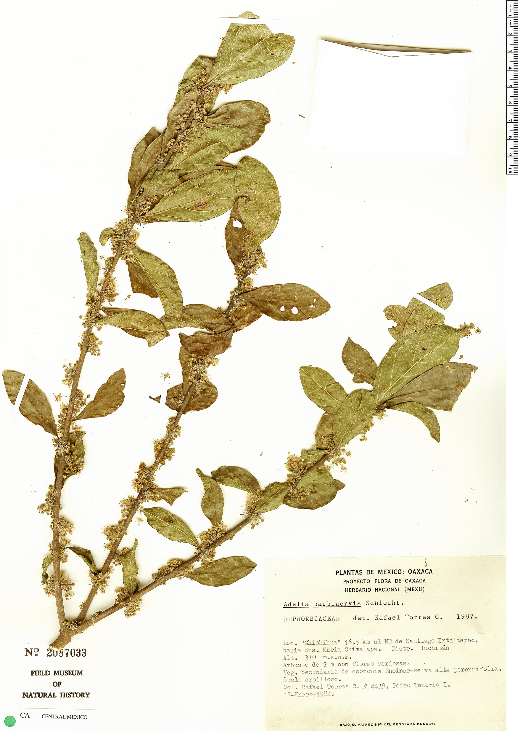 Specimen: Adelia barbinervis