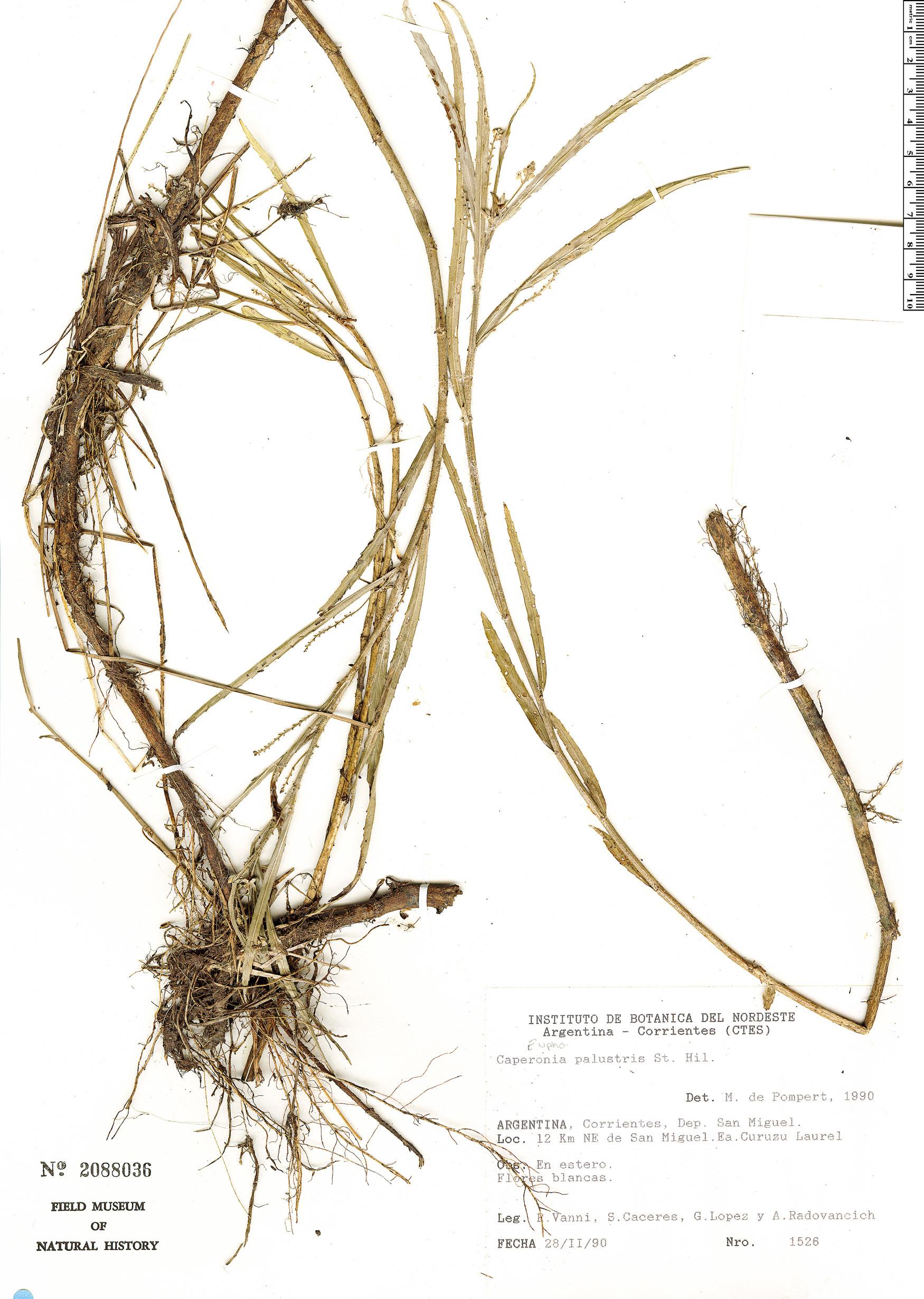 Specimen: Caperonia palustris