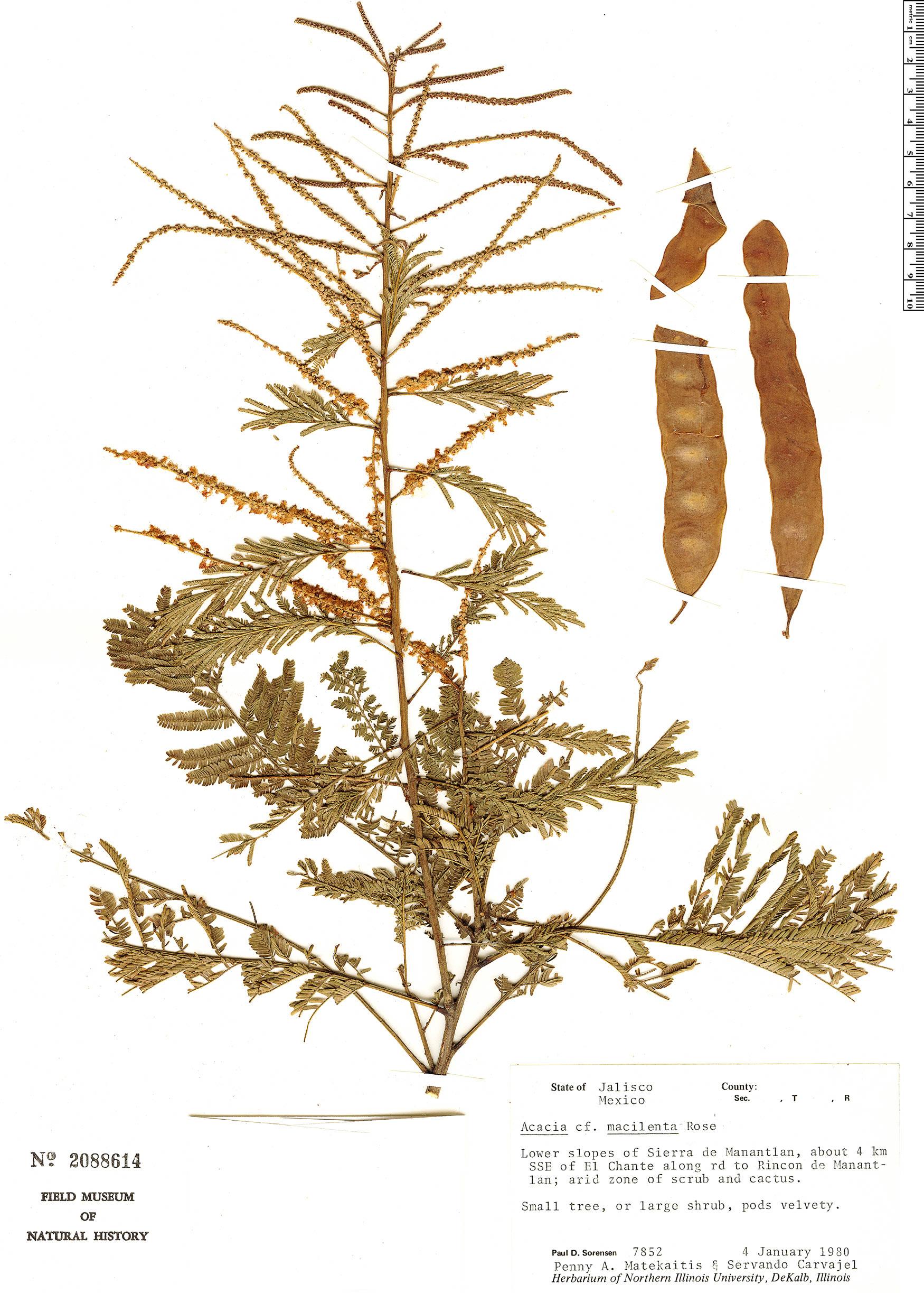 Specimen: Senegalia macilenta