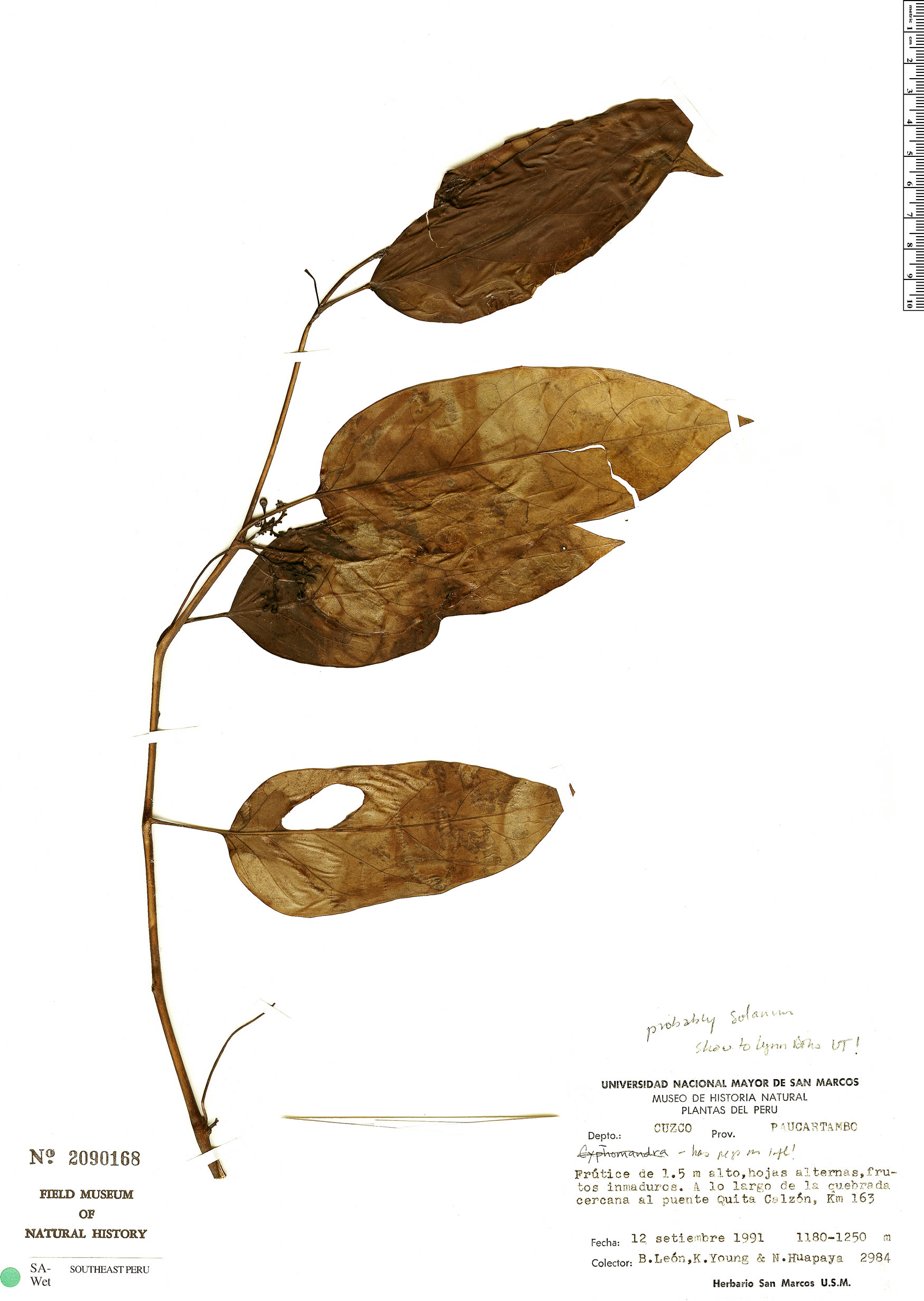 Specimen: Solanum roseum