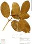 Ficus trigona L. f., Bolivia, A. H. Gentry 71100, F