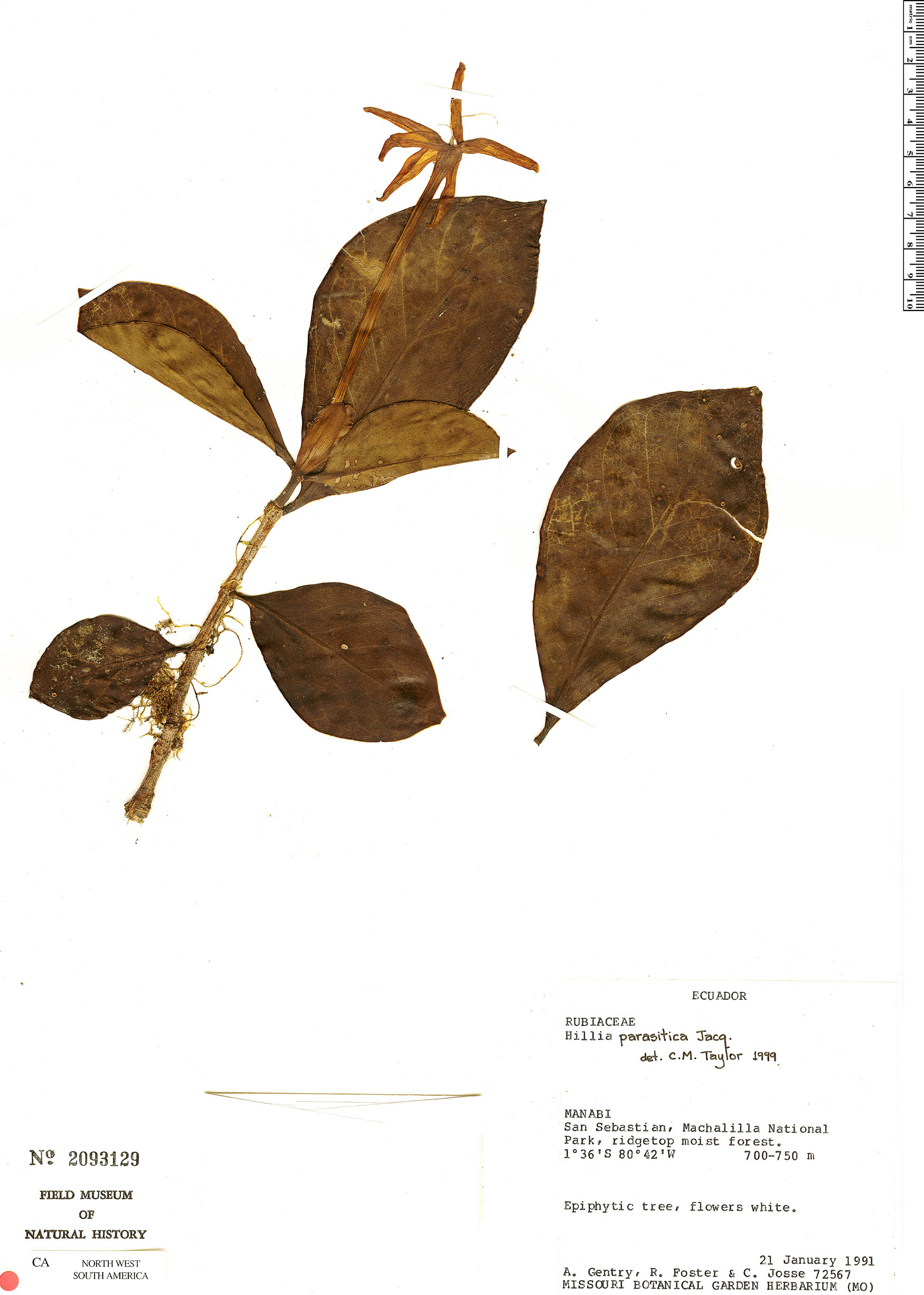 Specimen: Hillia parasitica