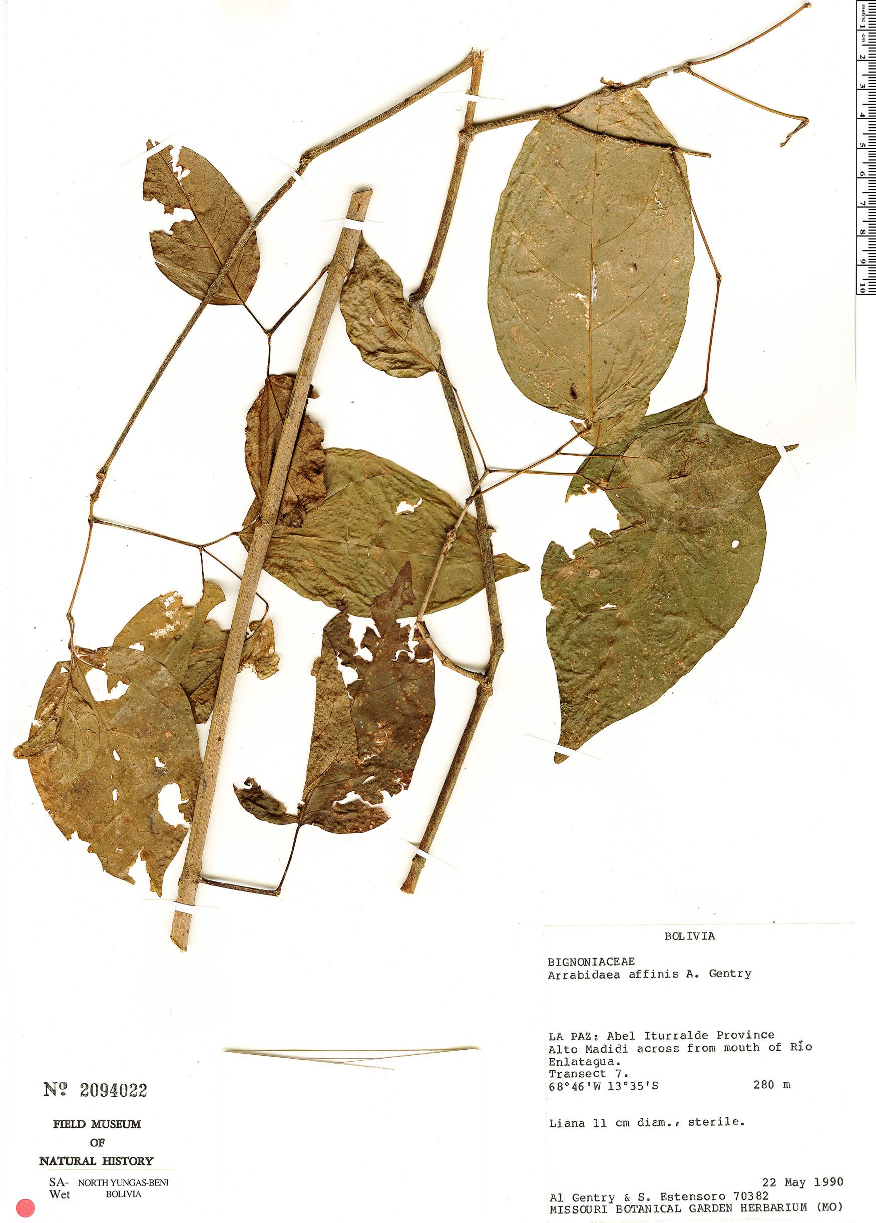 Specimen: Tanaecium affine