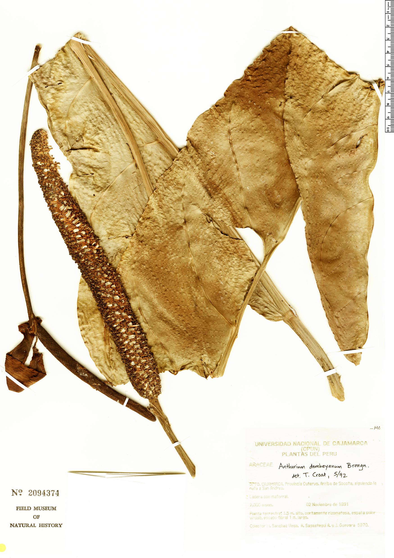 Specimen: Anthurium dombeyanum