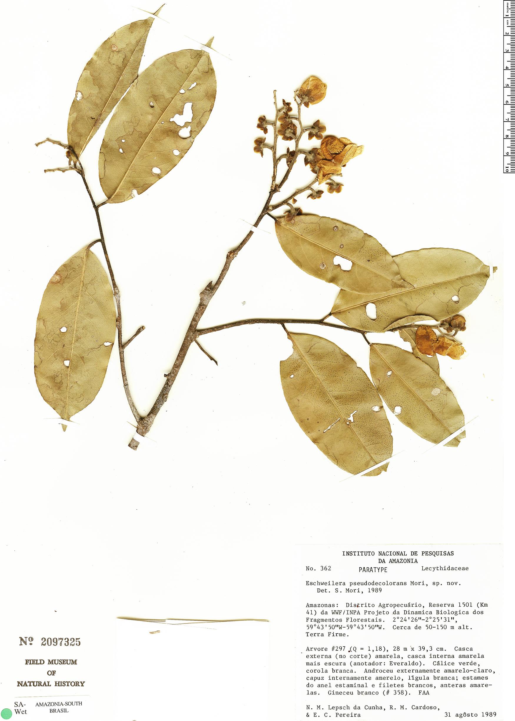 Specimen: Eschweilera pseudodecolorans