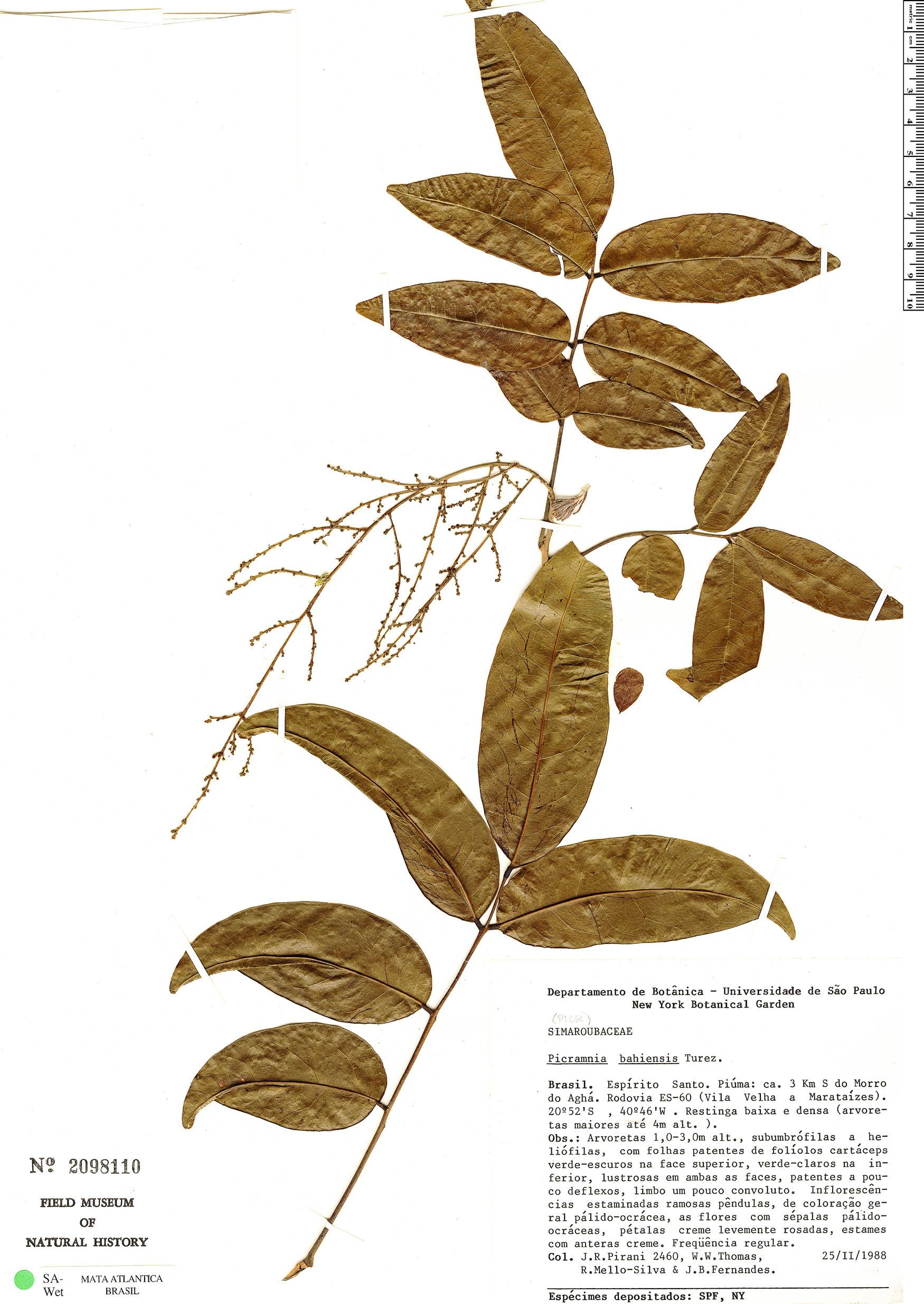 Specimen: Picramnia bahiensis