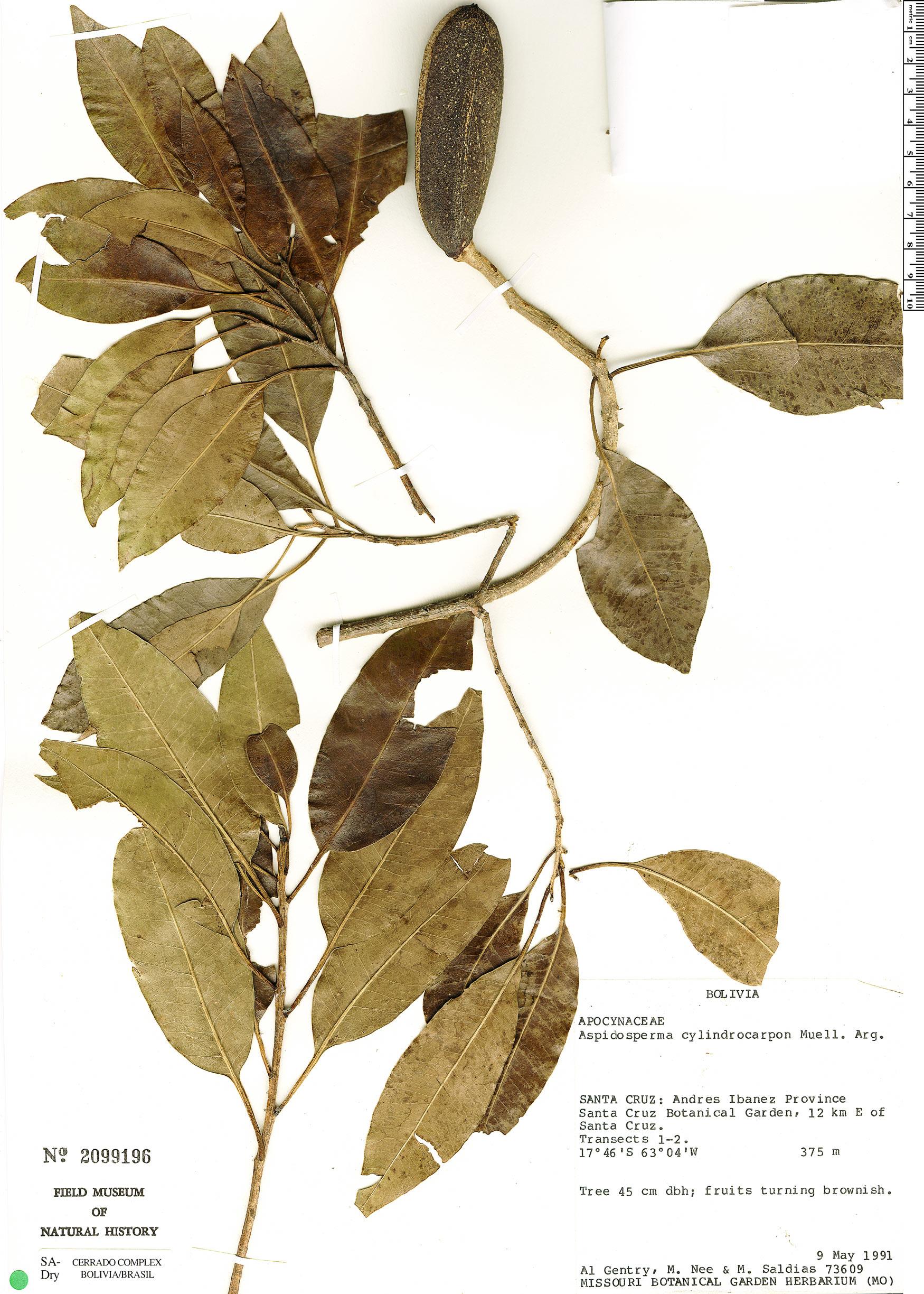 Specimen: Aspidosperma cylindrocarpon